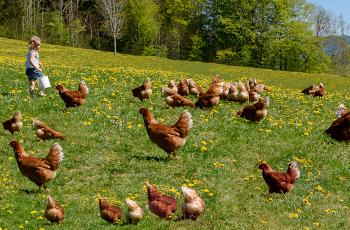 Hühner auf der Wiese